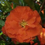 Show product details for Double Take Orange Storm Chaenomeles Plant
