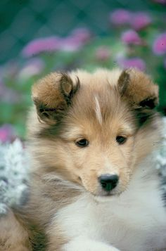 The Shetland Sheepdog originated in the and its ancestors were from Scotland, which worked as herding dogs. These early dogs were fairly Sheltie Puppies For Sale, Cute Baby Puppies, Kittens And Puppies, Cute Cats And Dogs, Sheep Dog Puppy, Dog Cat, Sheep Dogs, Doggies, Animals Beautiful