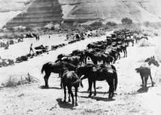 The horse-lines of the Australian Light Horse under the cliff at Auja Ford in Palestine.