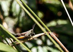 Grasshopper - Leif Sohlman Fine art prints, postrers, greeting cards and licenses for sale