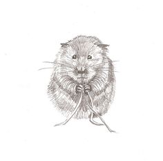 British Water Vole pencil drawing/pet art/animal by CardCreative