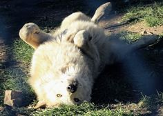 By California Wolf Center