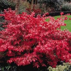 Euonymus alatus 'Compacta' (dwarf burning bush). 2 for the east side of the house in the rocks.