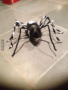 A diy spider costume for your guinea pig