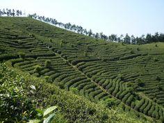 Le jardin du Anji Bai Cha Anji Bai Cha's Tea Garden by Camellia-Sinensis, via Flickr