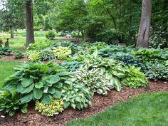A hosta garden