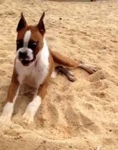 This Boxer puppy has a hilarious reaction when he tastes a lime! He really seems to like it because he keeps on going back for more!  Related: Puppy eats a lime Bernese Mountain dog puppy gets introduced to a lemon Dog dances out his distaste of lemon