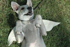 DOG COSTUME - Angel Cupid Pet Halloween Costume - Made to Order - EcoFelt Angel/Dove Wings - Pet Halloween