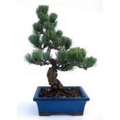 Bonsái 18 años Pinus pentaphylla Hoja Perenne