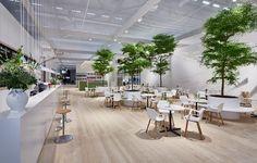 Bucida buceras #indoor #trees