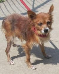 55 Bingo is an adoptable Chihuahua Dog in Canton, OH. Was examined by our vet on 8/27 and is being treated for flea allergy dermatitis and ear infections.  Release date 8/27, B-I-N-G-O, and Bingo...