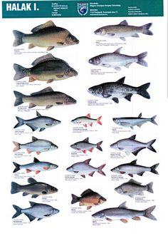 Magyar Halfajok Hungary, Biology, Basin, Fishing, Science, History, Nature, Tips And Tricks, Naturaleza