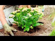 Rozmnażanie hortensji z sadzonek wierzchołkowych - Ogród ozdobny - Mój Piękny Ogród - portal dla pasjonatów ogrodnictwa