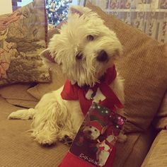 Today we got the mail from our cute friend Golfo @golfothewesty ❤️ Thank you so much dear Golfo and Momma I for the beautiful Christmas card and wonderful scarves ❤️ We love it very much!❤️ My bro Henry is sick but when he will feel better we're going to take a picture together! Have a nice day everyone! #thankyou #westiegram #westiemoments #westielife #боцманигенри