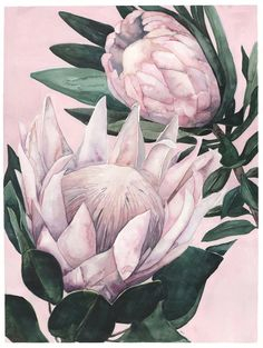 King Proteas on Pink Background Botanical Drawings, Botanical Art, Botanical Illustration, Protea Art, Protea Flower, Protea Bouquet, Watercolor Flowers, Watercolor Paintings, List Of Paintings