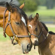 Mare and foal. Horse love nuzzling. What a cute little foal.