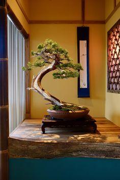Tokonama by Berner Bonsai #bonsai