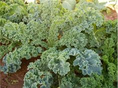 Dwarf Siberian Kale - This tasty Russian variety produces leaves that are only slightly frilled and of top quality. 16-inch plants are very hardy and productive.