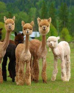Это стриженные альпаки. Вот так смешно выглядят ламы, когда отдали всю шерсть на шапки и сумки. )))