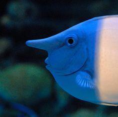 Unicorn tangs are OP. Underwater Creatures, Ocean Creatures, Weird Creatures, Colorful Fish, Tropical Fish, Beautiful Creatures, Animals Beautiful, Unicorn Fish, Amazing Aquariums