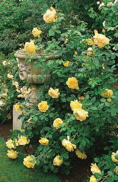 Golden Celebrations Rosas David Austin, David Austin Rosen, Beautiful Roses, Beautiful Gardens, English Garden Design, Home And Garden Store, Shrub Roses, Climbing Roses, Rose Cottage