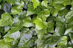 Hedera canariensis, Canary Ivy  - H x W: 30cm x 2m+ / spreading (as a groundcover)  - Excellent Groundcover or Climber