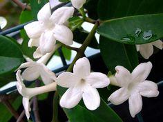 Le Stephanotis floribunda apporte le printemps dans nos maisons avec ses fleurs blanches très odorantes évoquant à la fois le jasmin et le lys. Très tonique, avec ses belles feuilles lustrées, c'est un grimpant que rien n'arrête !