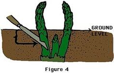 Gardening Asparagus Growing Guide for - How to