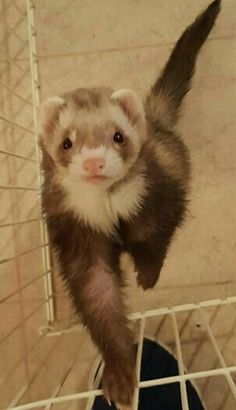 Hazel begging to be picked up 💓 Who can resist? Flower Pictures, Animal Pictures, Ferret, Fur Babies, Pets, Animals, Twitter, Board, Life