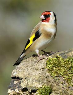 Goldfinch ( Carduelis carduelis ) by Kevin Keatley, via 500px