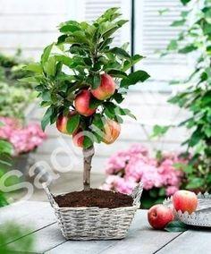 Mini #Jabłoń karłowa karłowata Delegrina #drzewa #owocowe #owoce #ogród Sklep Internetowy Wysyłka gratis od 99zł http://www.sadowniczy.pl/product-pol-138517-Mini-Jablon-karlowa-karlowata-Delegrina.html?utm_source=pucek&utm_medium=pin