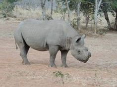 Check out this Rhino! Seen on an African Safari - Get up close and personal yourself!! www.thecruiseplanner.com