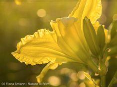 Zitronengelbe Taglilie bei Sonnenaufgang Gras, Plants, Day Lilies, Lemon Yellow, Low Maintenance Garden, Summer Garden, Summer Flowers, Sunrise, Plant