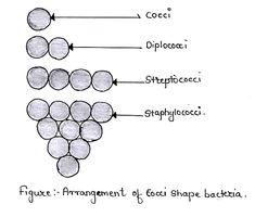 Arrangement of cocci shape bacteria.