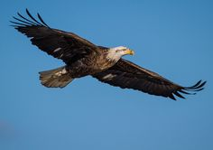 Majestic Soaring Eagle