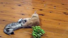 Funny and Hilarious Kittens Playing - Best Viral Videos http://ift.tt/1WFZAfM