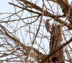 Red Bellied Woodpecker at Heard Wildlife Preserve and Museum.