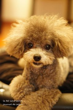 Cute Puppies, Cute Dogs, Dogs And Puppies, Animals And Pets, Cute Animals, Poodle Haircut, French Poodles, Poodle Mix, Kinds Of Dogs