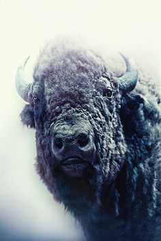Bison in the snow Animals Of The World, Animals And Pets, Cute Animals, American Bison, American Gods, Mundo Animal, My Animal, Wildlife Photography, Animal Photography