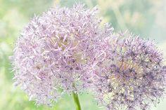 Allium Purple photo, fleurs, nature morte, Art imprimé Floral, décoration murale violet doux, éthéré