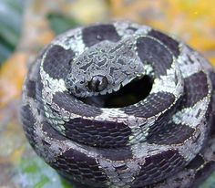 ✿ Amazonian Snail-Eater (Dipsas indica) is a snake species found in South America. The Amazonian snail-eater depends on closed-canopy rain forest for its diet of snails, which the snake can extract from their shells using its slender jaw. ✿