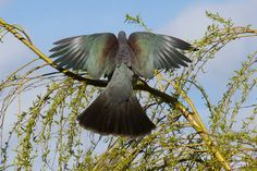 The beautiful wings of the kereru/New Zealand wood pigeon Sea Birds, Wild Birds, Animals And Pets, Cute Animals, Wood Pigeon, Kiwiana, Reptiles And Amphibians, Bird Feathers, New Zealand
