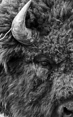 Bison - Black and White Photography Animal Bufalo, Beautiful Creatures, Animals Beautiful, Buffalo Art, Buffalo Animal, Buffalo Painting, Animals And Pets, Cute Animals, American Bison