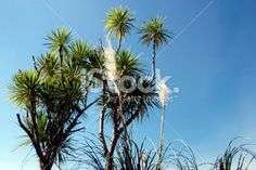 New Zealand native 'Toitoi' or 'Toetoe' and Cabbage Trees Royalty Free Stock Photo Grass Background, New Zealand Landscape, Tree Images, Kiwiana, Photo Tree, Image Now, Nativity, Cabbage, Scenery