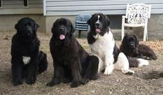 Newfoundland Puppies and Newfoundland Breeders, Newfoundlands black and Landseers - New York, NY