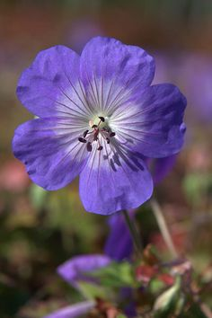 Buy cranesbill Geranium 'Rozanne = 'Gerwat' (PBR) This beautiful Geranium Rozanne has been chosen the Plant of the Centenary at Chelsea.