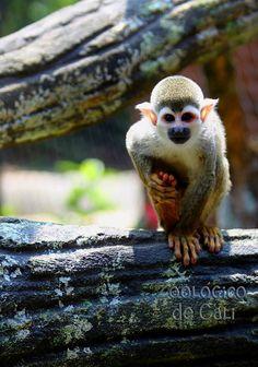 TITI  ARDILLA  #Zoologico de  #Cali  #CaliCo #OrgullodeCali  #Colombia  #Turismo #SomosTurismo Cali Colombia, Fauna, My People, Homeland, Country, Tourism, Squirrels, Parks, Birds