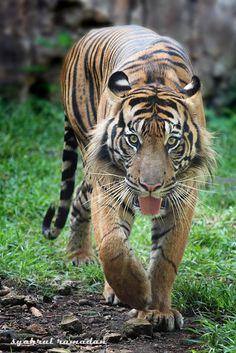 Photograph Tiger Eyes by Syahrul Ramadan on 500px