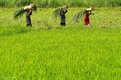 Agriculture Industry in India Expected to Grow at 12%, Driven by Government Support and Easy Credit Availability Enquiry for sample report or more details, click here: http://www.imarcgroup.com/enquiry-form/ #agriculture #industry #india