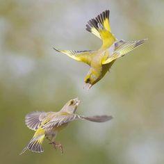 Greenfinch, Europe, Bird, Animals, Gardens, Animales, Animaux, Birds, Animal